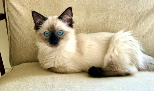 Tips on Grooming Your Ragdoll Cat